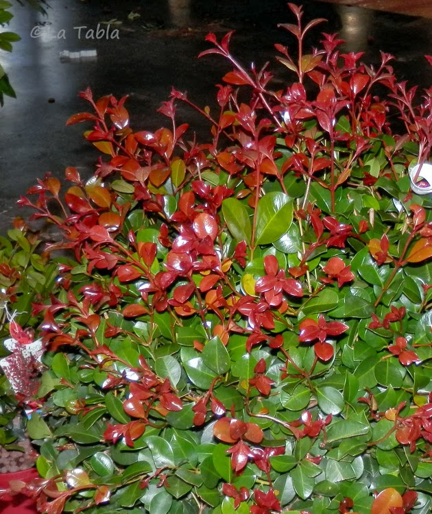 Eugenia uniflora 39 etna fire 39 for El jardin de eugenia