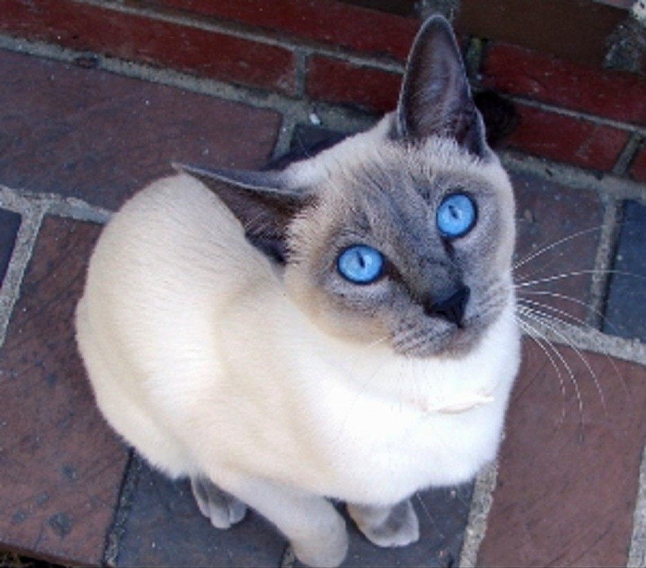 ShukerNature: TALES OF A TAIL - LEGENDS OF THE SIAMESE CAT