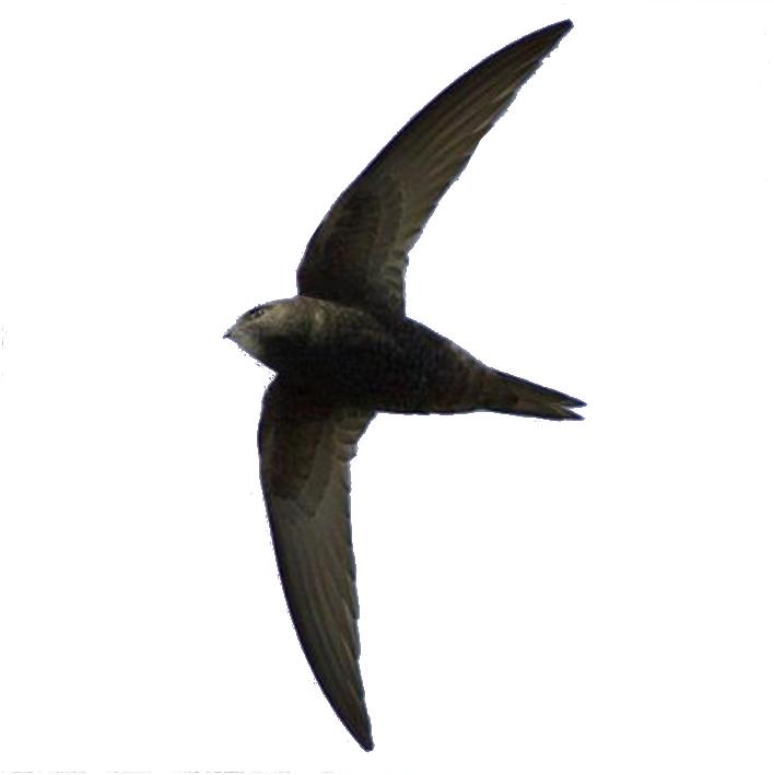 Swift Conservation