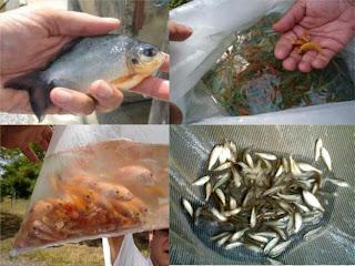 Ambientes de aprendizaje en piscicultura la piscicultura for Tanques para cria de peces