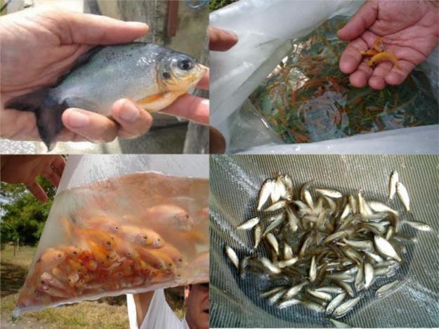 Ambientes de aprendizaje en piscicultura la piscicultura for Cria de peces en cautiverio