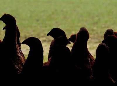 Ayam Terenak di Dunia