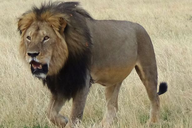 african lion essay This is the essay i wrote which relates to my powerpoint cons of african safari lion huntsthe african lion, panthera leo, also known as the king of the jungle is one of the largest of africa's big cats.