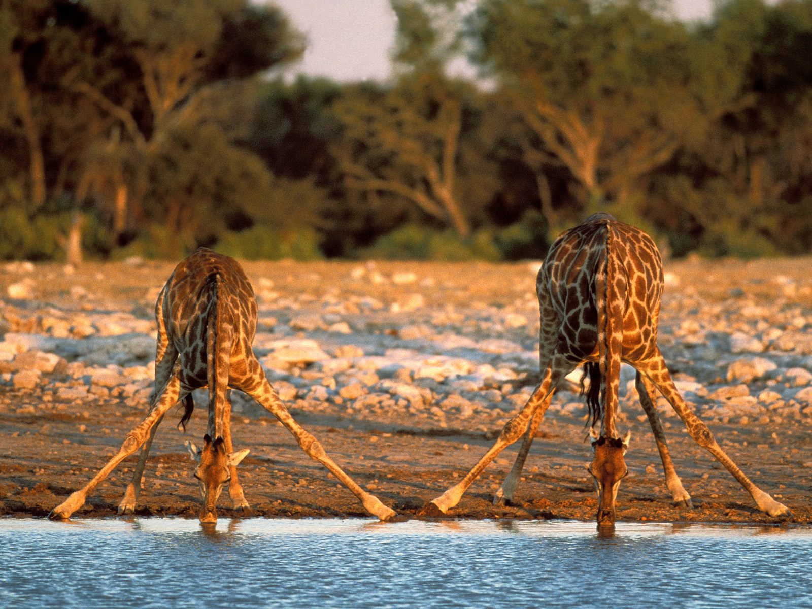 animals+drinking++giraffe+dangerous+african+safari+animals+africa ...