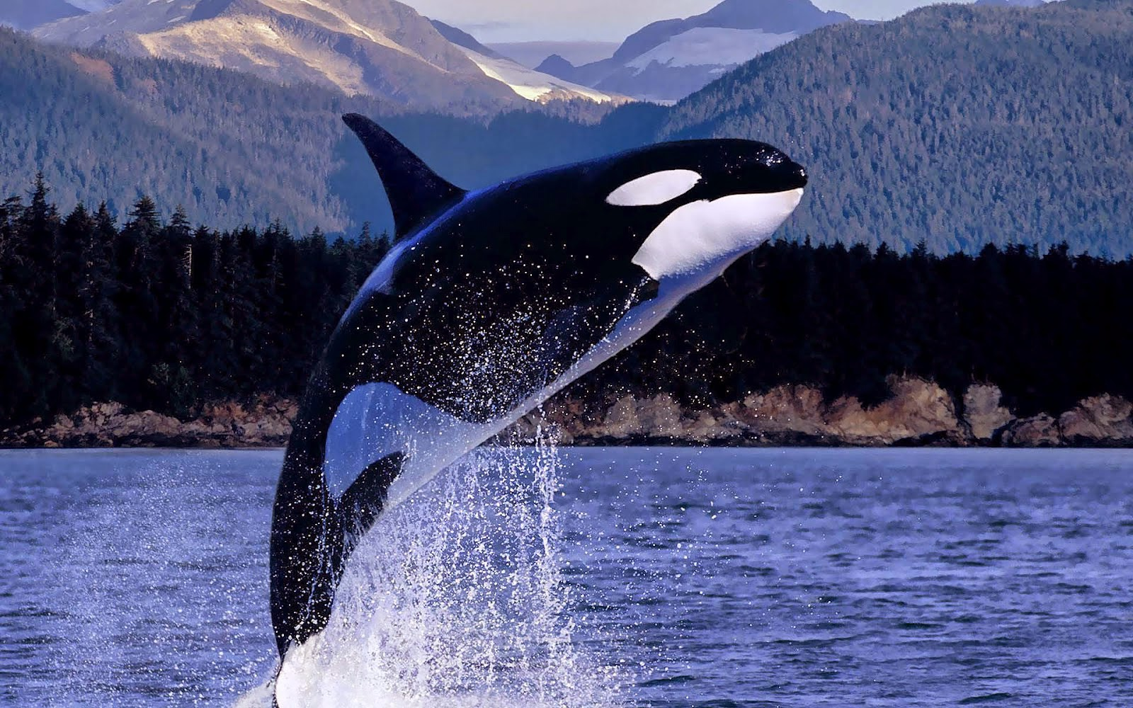 Killer whale still carrying her dead calf after 16 days