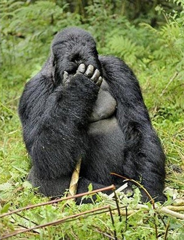funny animal pictures, facepalm gorilla