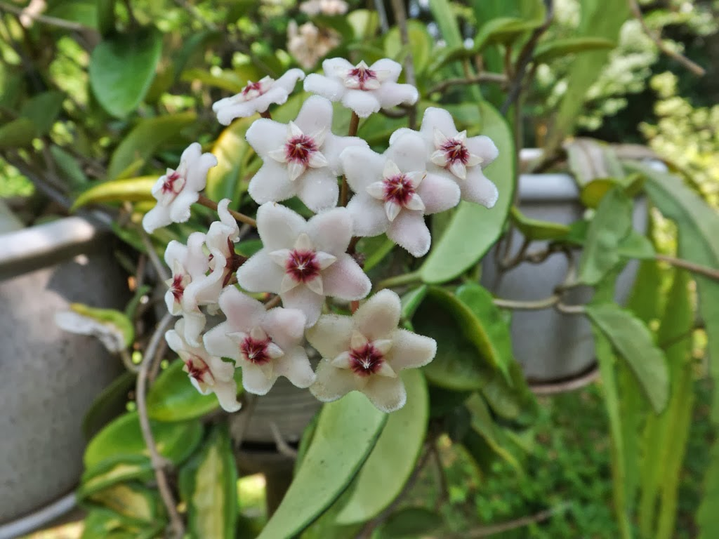 MARIETTE S BACK TO BASICS Our Fragrant Hoya Carnosa Wax Plant