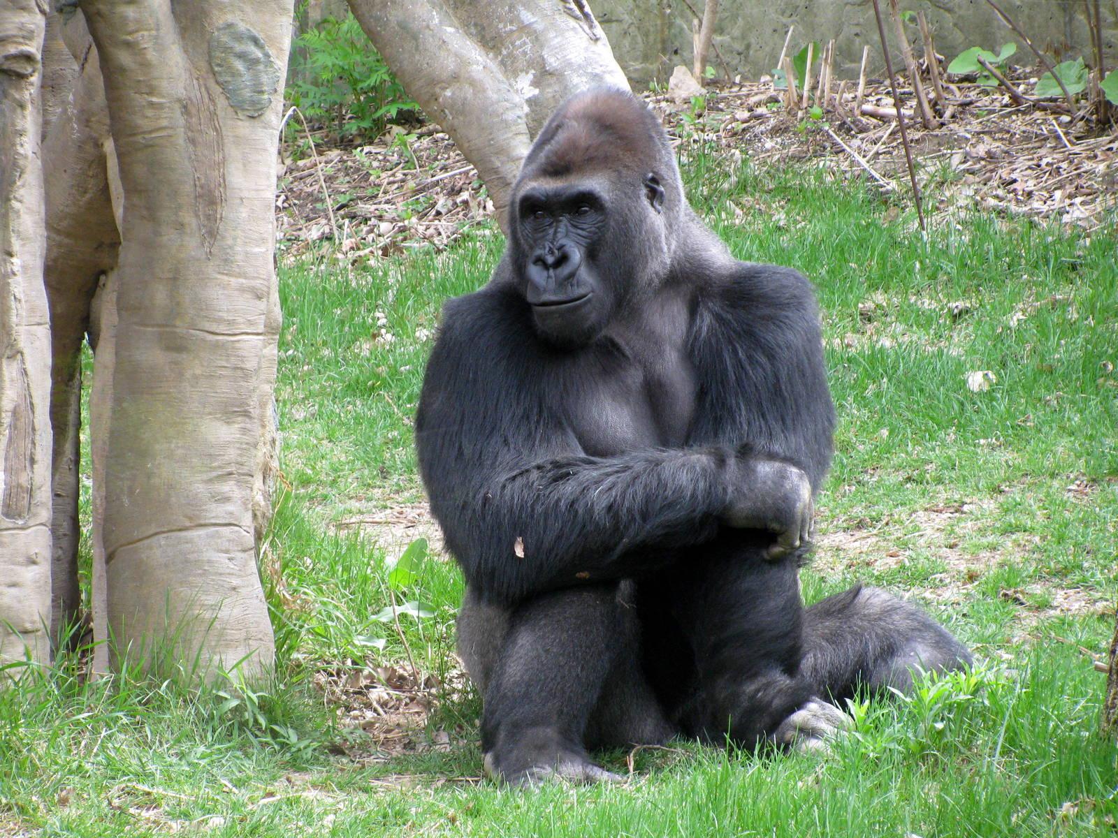 Eastern Gorilla   Wildlife   The Wildlife