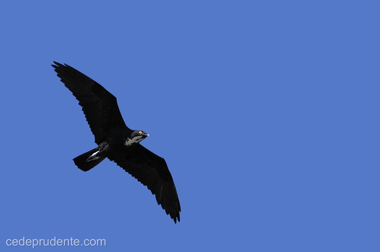 flying falcon silhouette