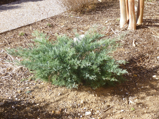 The 'Grey Owl' cultivar of Juniperus virginiana (eastern redcedar) grows as a tall, woody groundcover.
