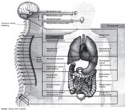 Sistem saraf simpatik dan parasimpatik