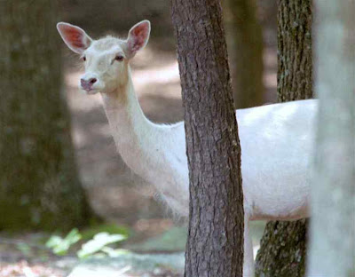White Deer Picture