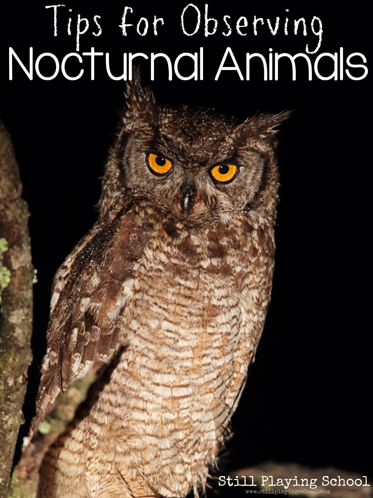 Image of: Horned Owl Still Playing School Tips For Observing Nocturnal Animals Still Playing School