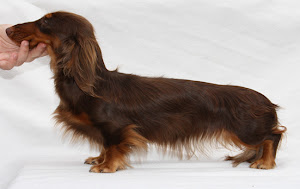Joven Promesa Miniatura Pelo Largo. Young Hopeful Miniature Longhaired Female.
