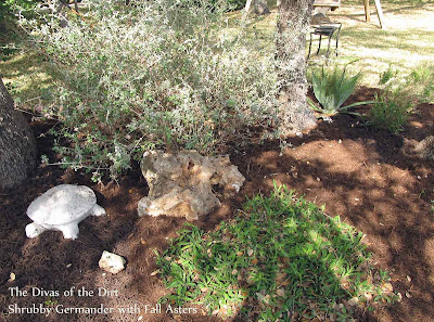 DivasoftheDirt,shrubby germander