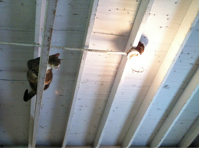 funny animal pictures, cat on ceiling