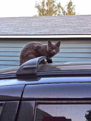 Funny Russian blue cat on top of car