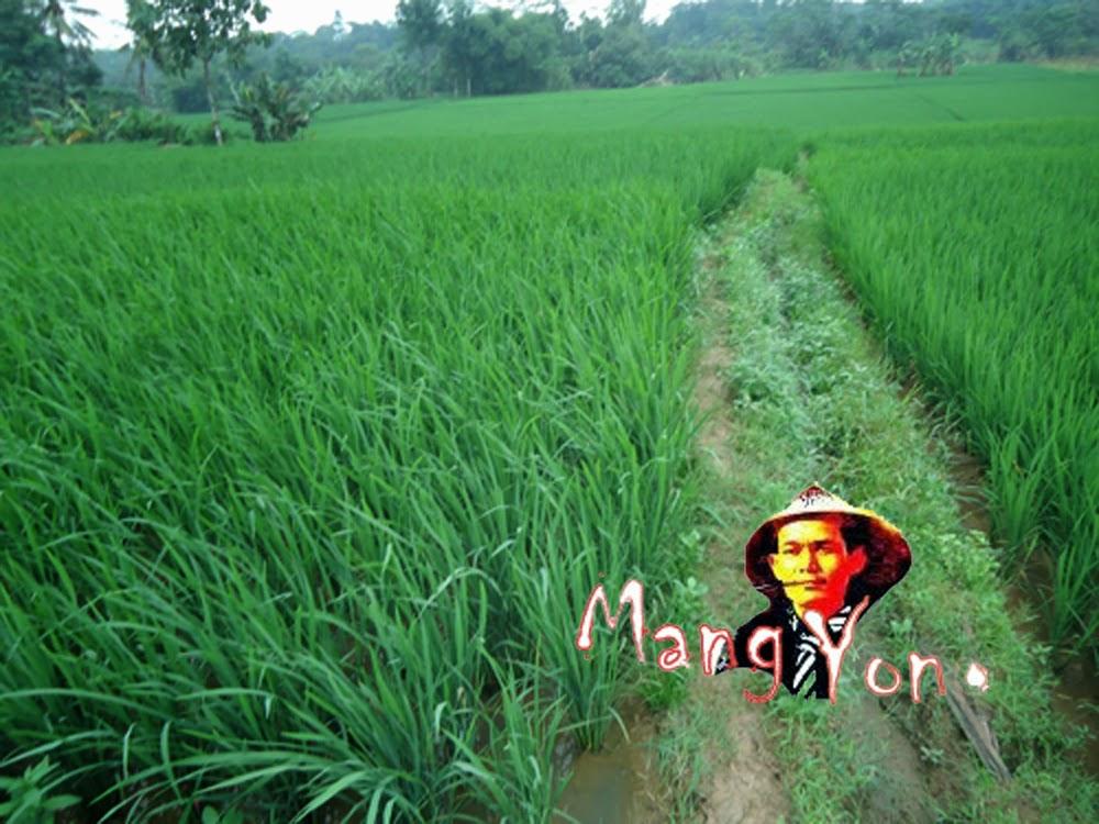 Tanaman Padi beras merah cuma satu petak
