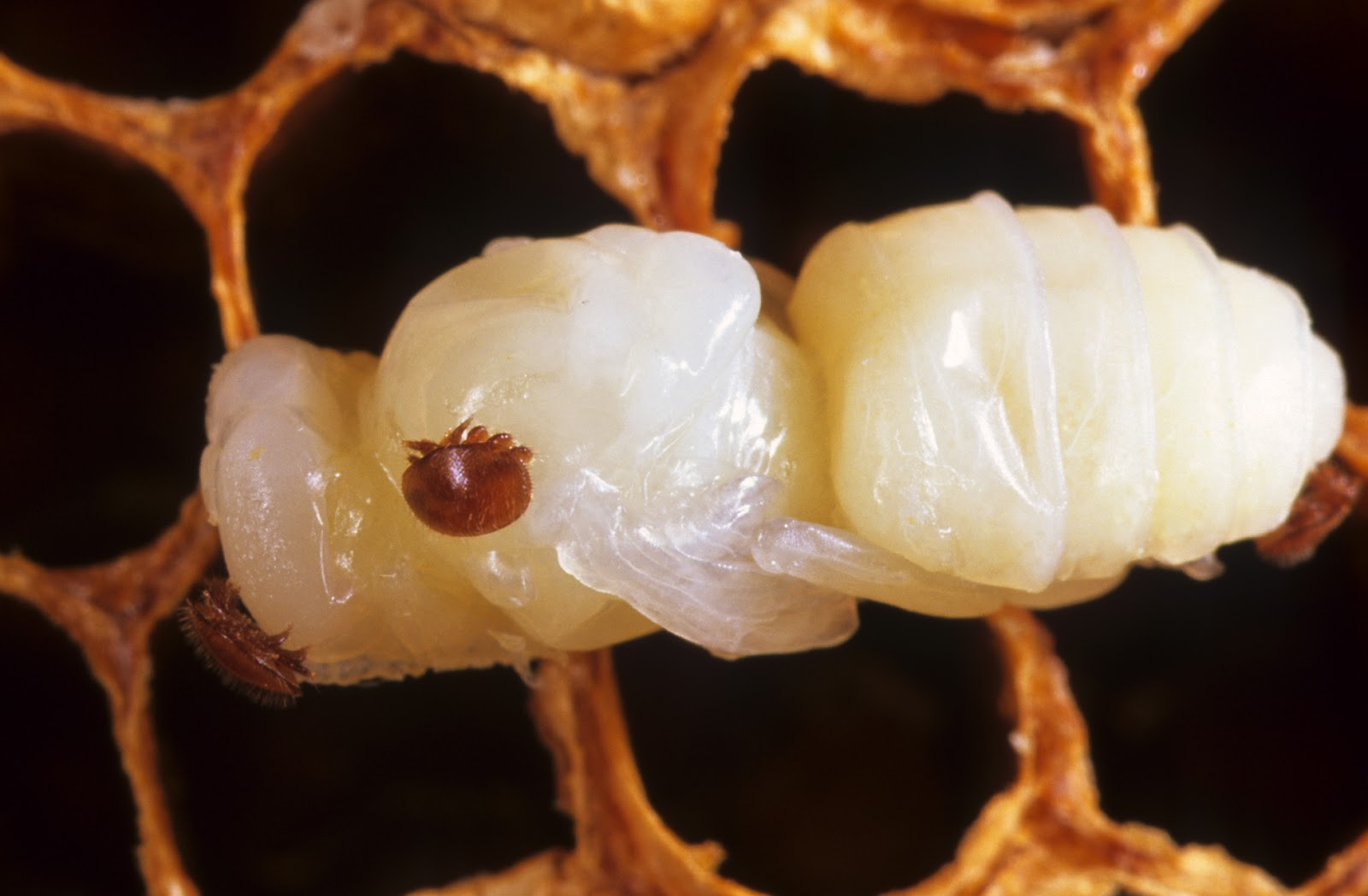 Brushy Mountain Bee Farm: Controlling Your Varroa Mite Counts