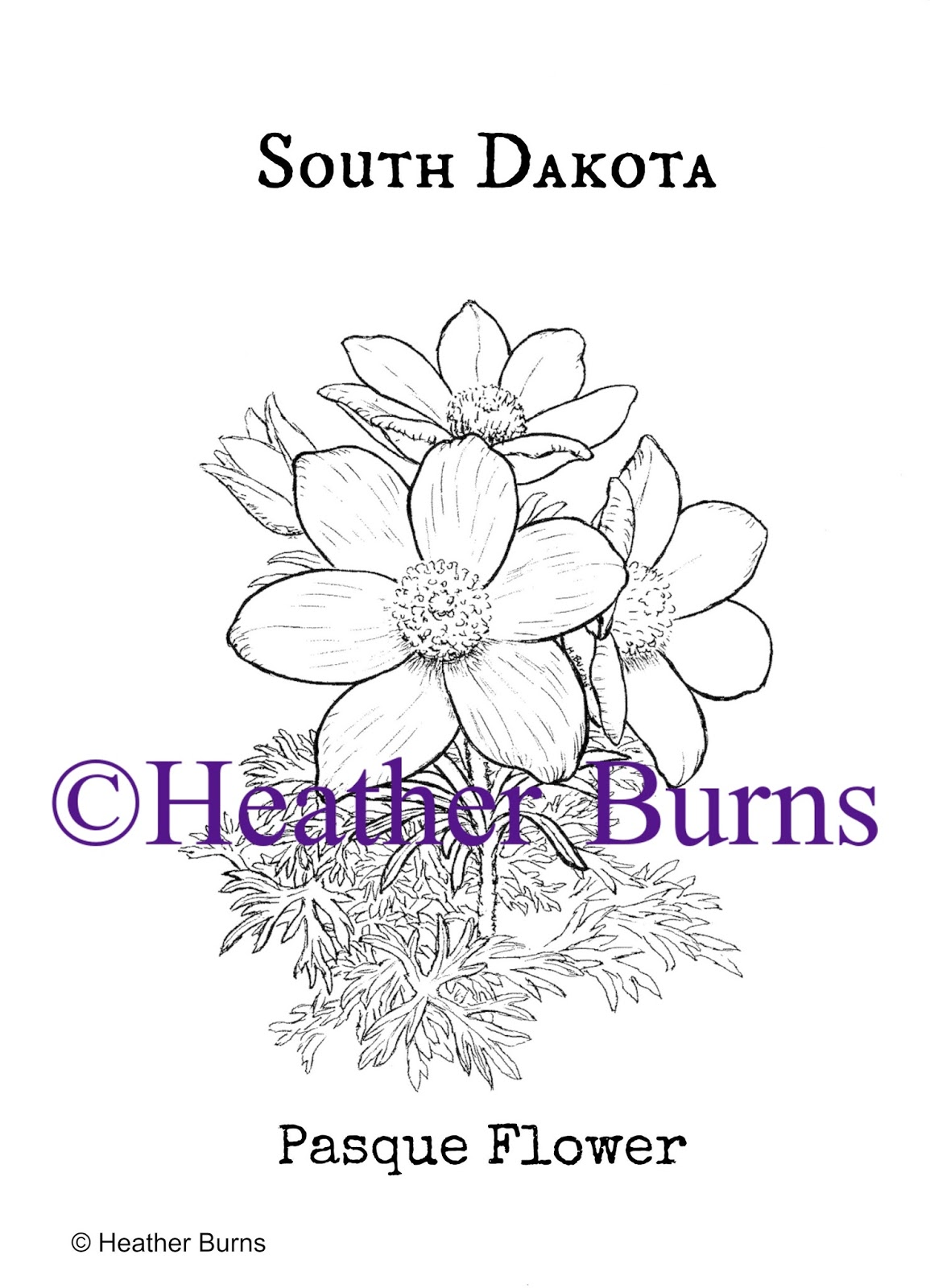 State Flower Coloring Book South Dakota Pasque Flower Coloring Page