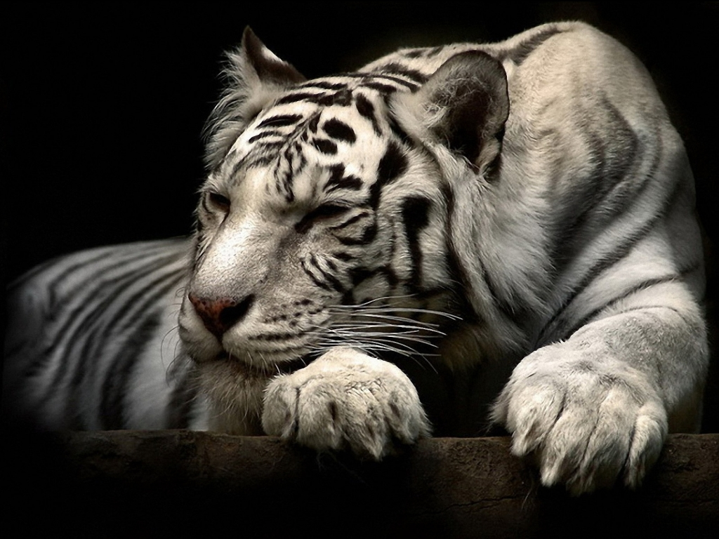 Lazy White Tiger Wallpaper