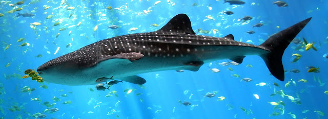 صورة جميلة جدا لسمكة قرش مرقطة