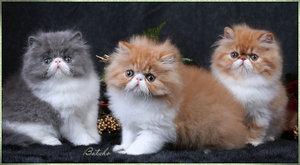 menjual berbagai jenis kucing