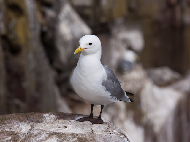 Kittiwake - Farne Islands, Northumberland