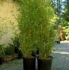 bambu kelisik cina