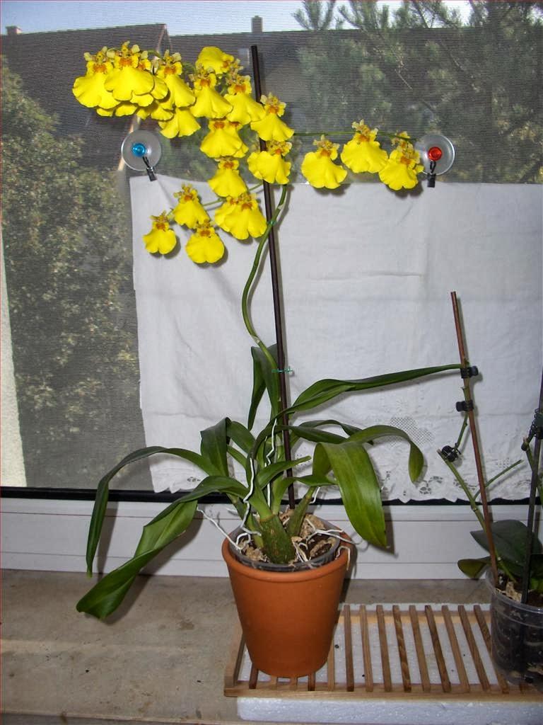 Orchidee in fiore oncidium recuperato la prima fioritura for Orchidea fioritura