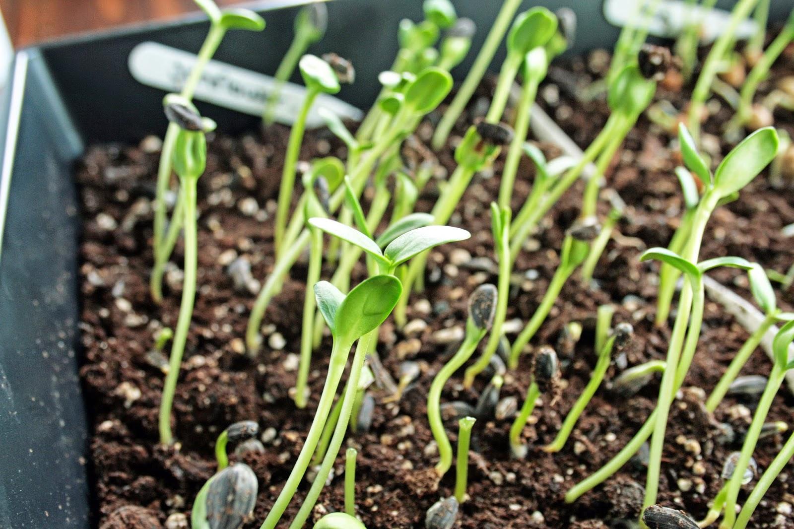 how to grow popcorn microgreens