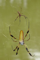 Banana Spider, by Shady Grove Training Center, Ocala, FL