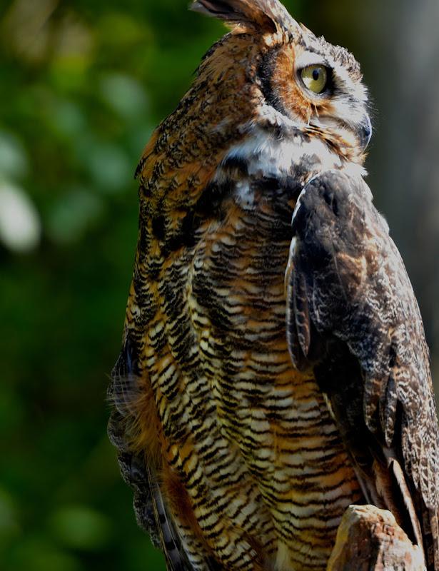 tiger peeing on owl