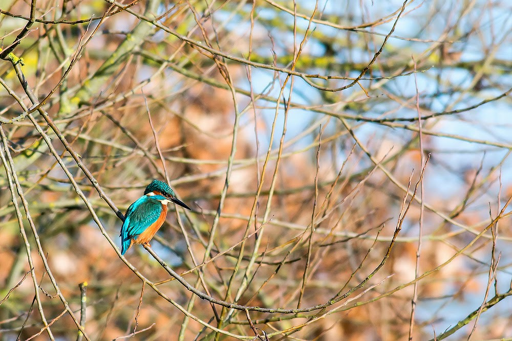 Kingfisher - Manor Farm, Milton Keynes