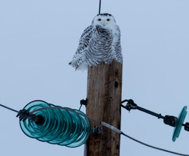 The Owl of January 2018