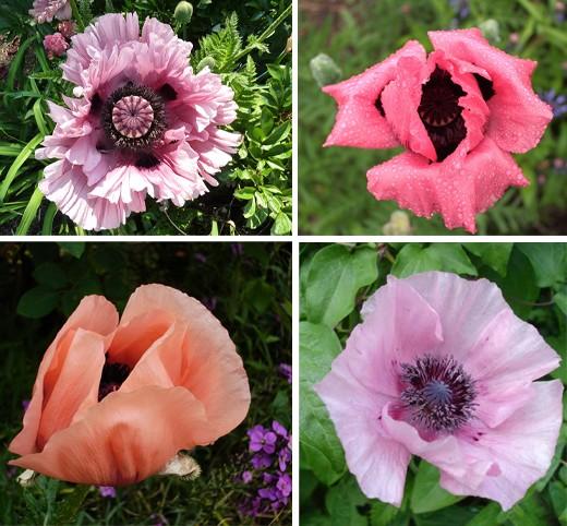 když kvetou m225ky vysněn225 zahrada