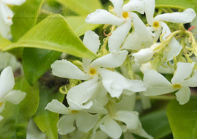 falso gelsomino - rincospermum