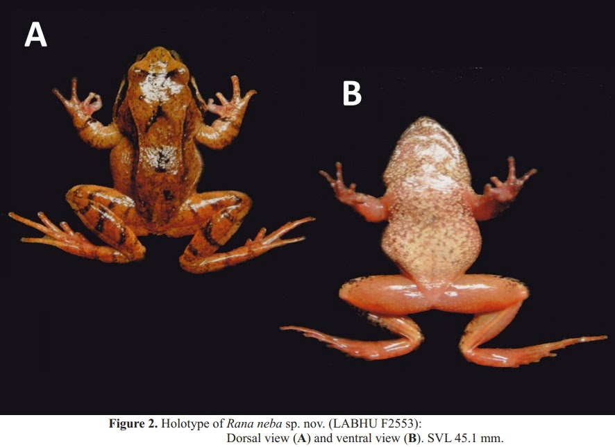 [Herpetology 2014] Rana neba – A New Brown Frog of th…