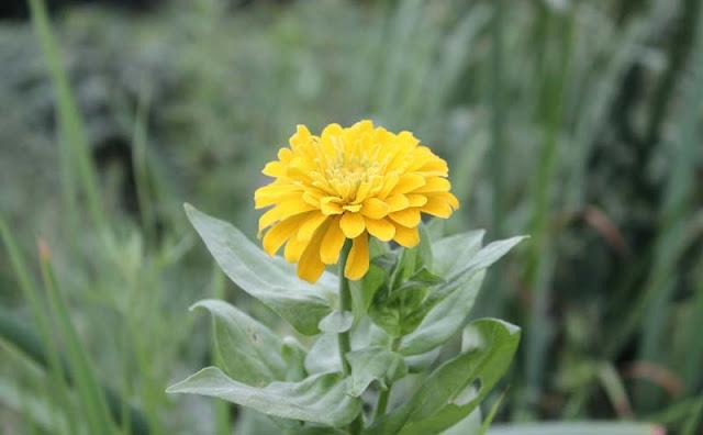 Zinnia Flowers