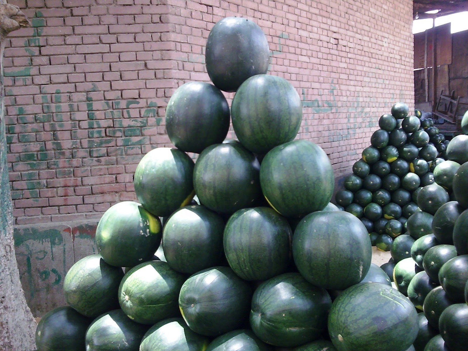 watermelon_egypt_suppliers