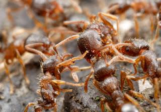 Perang Semut Argentina