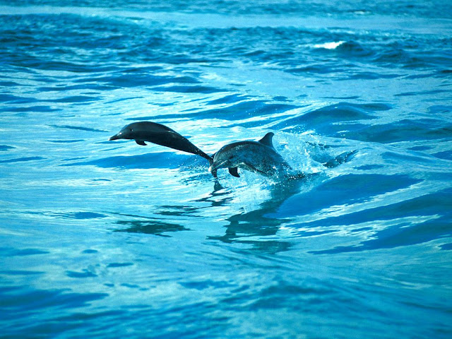 Animals Dolphins HD Wallpaper 1024x768 Pics