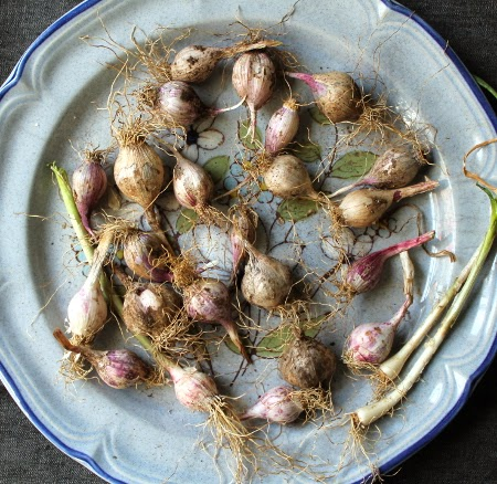The August 2014 garden: garlic harvest