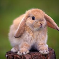 wallpaper kelinci lucu dan imut