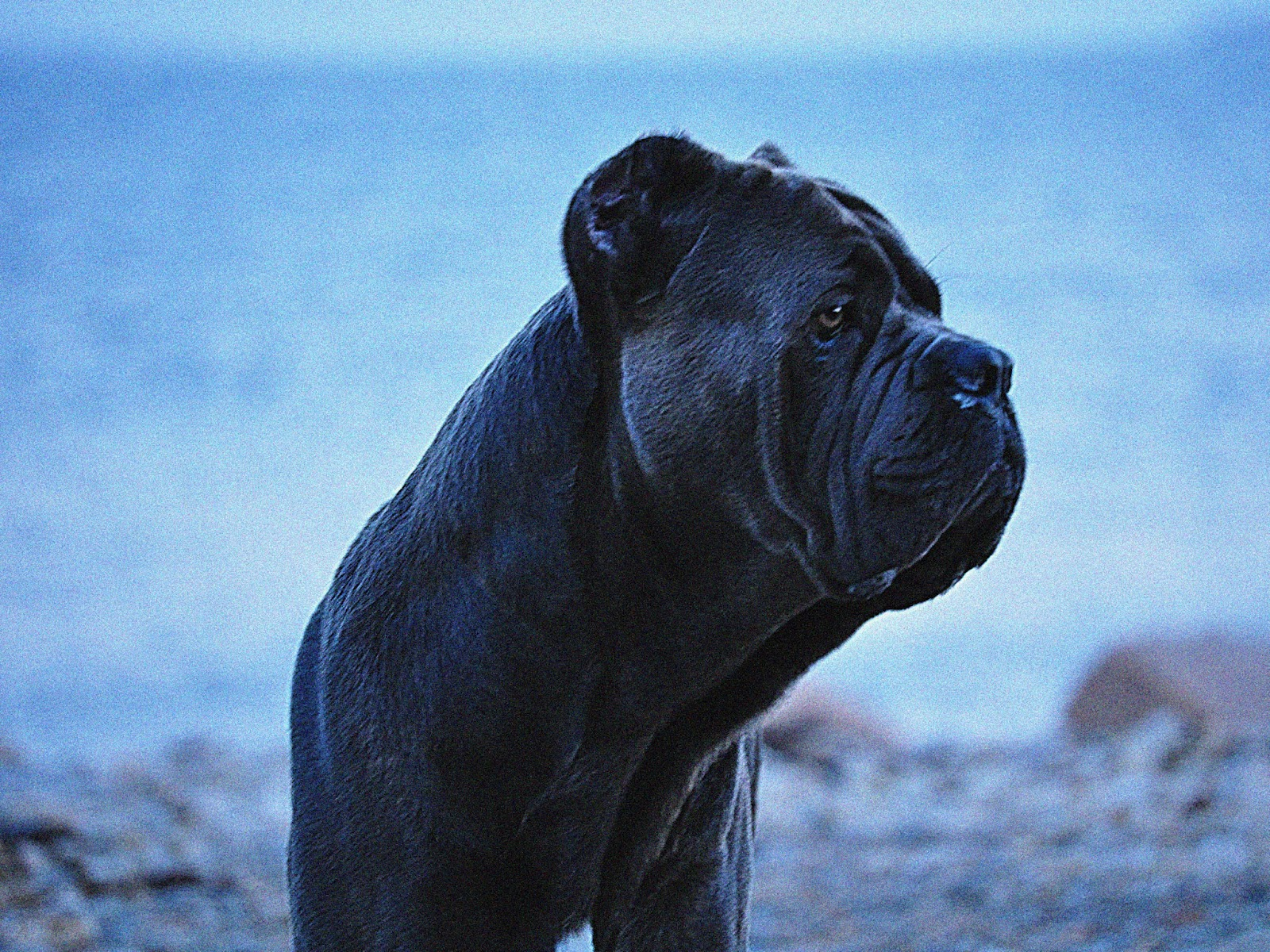 Cane Corso Wallpapers Fun Animals Wiki Videos Pictures Stories
