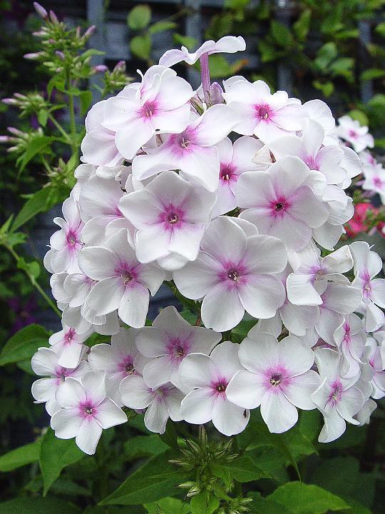 Piante e fiori phlox una pianta dai milleusi for Piante da esterno in vaso perenni