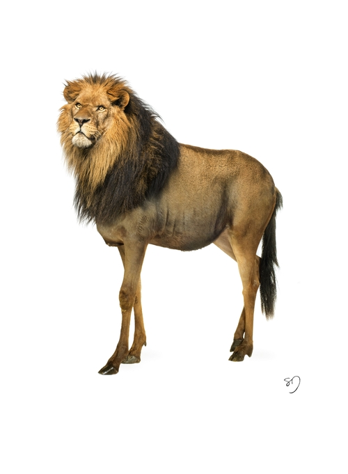 09-Lion-Wildebeest-Sarah-DeRemer-You-Are-what-You-Eat-Photo-Manipulation-www-designstack-co