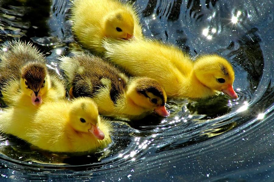 Cute+Ducklings+New+Image.jpg