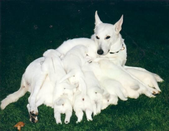 the german shepherd white german shepherd puppies