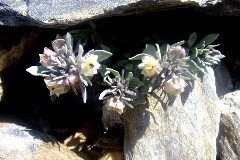Linaria glacialis